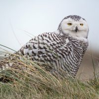 Snowy Owl Photo From Digiscoping